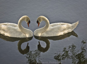Mute-Swan-Love
