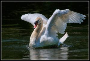 Mute-Swan-Takeoff