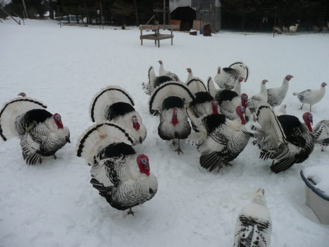 Royal-Palm-Turkey-Snow-Fight