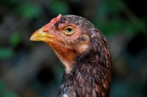 Saipan-Jungle-Fowl-Chicken-Portrait