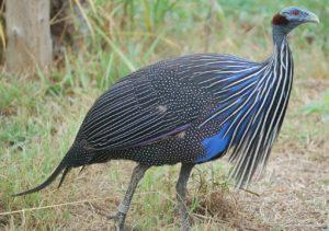 Vulturine-Guinea-Fowl-Curious