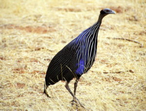Vulturine-Guinea-Fowl-Listening