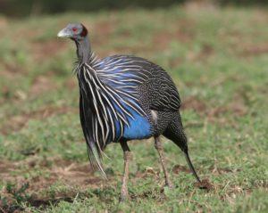 Vulturine-Guinea-Fowl-Portrait