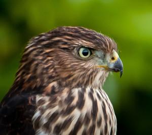 Coopers-Hawk1