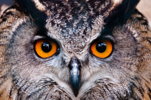 European-Eagle-Owl2