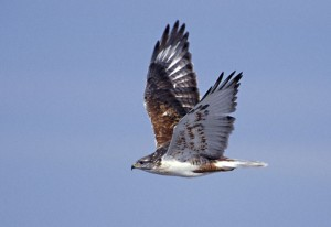 Ferruginous-Hawk