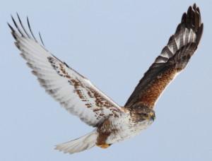 Ferruginous-Hawk3