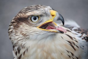 Ferruginous-Hawk4