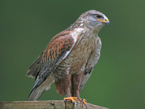 Ferruginous-Hawk5