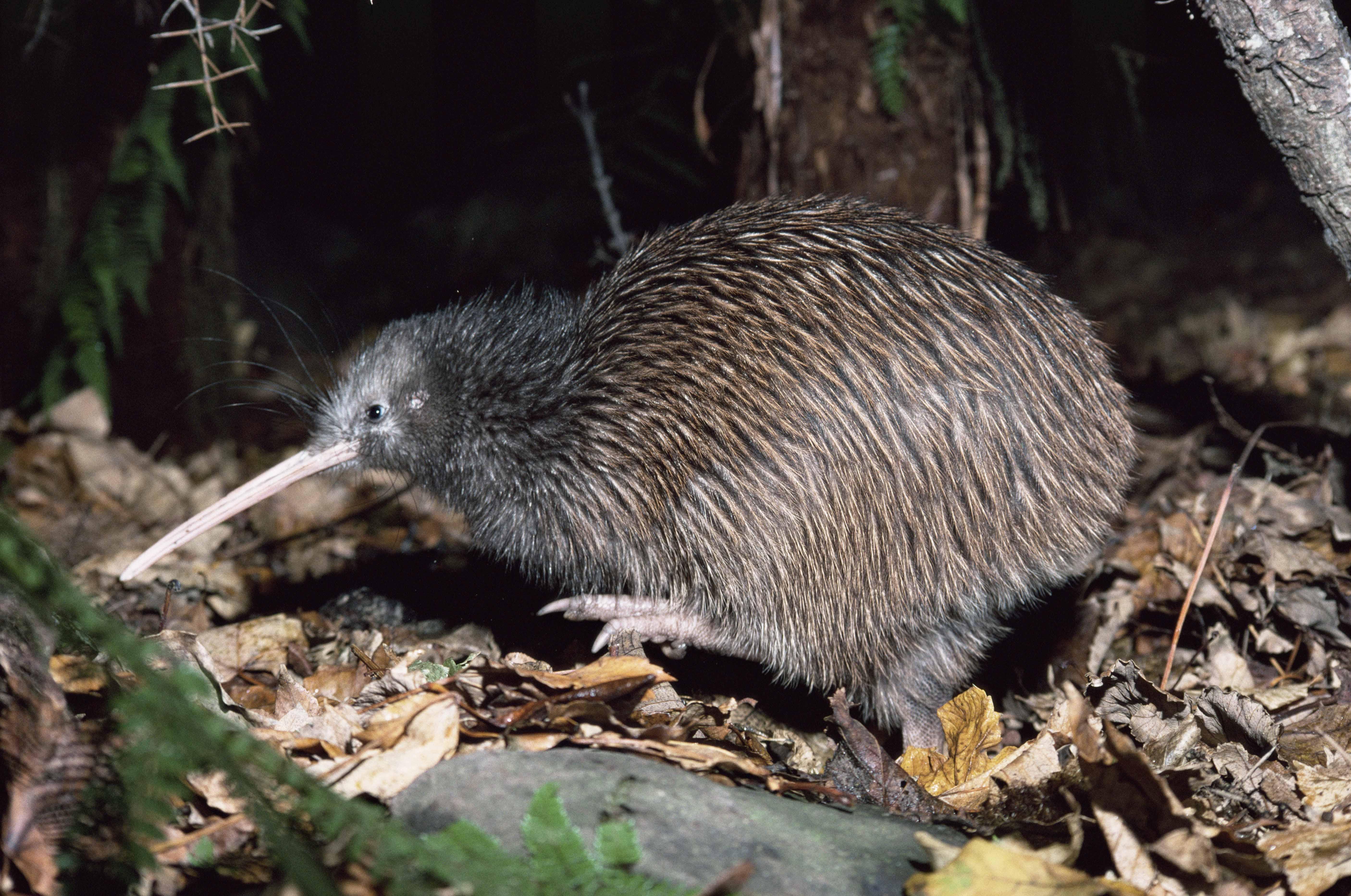 Stewart Island brown kiwi {Apteryx australis lawryi} Mason's Bay, New Zealand.