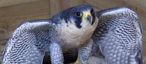 Peregrine-Falcon1