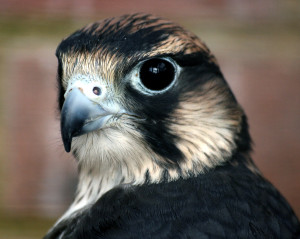 Peregrine-Falcon3