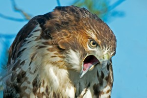 Red-Tailed-Hawk4