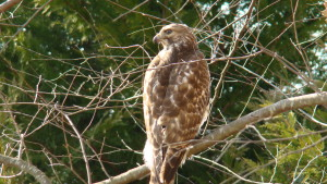 Red-Tailed-Hawk7