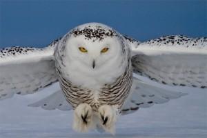 Snowy-Owl4