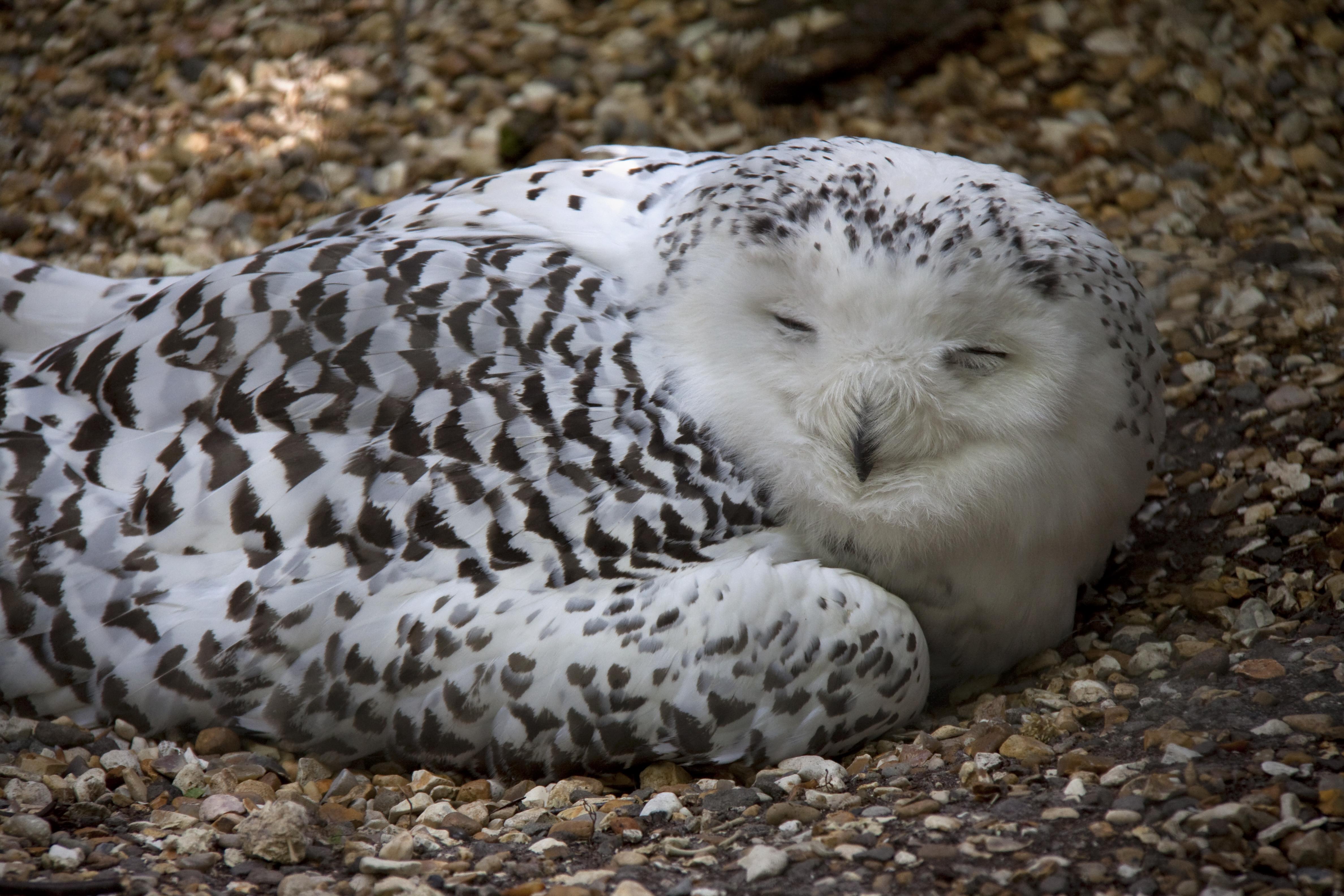 Snowy-Owl6