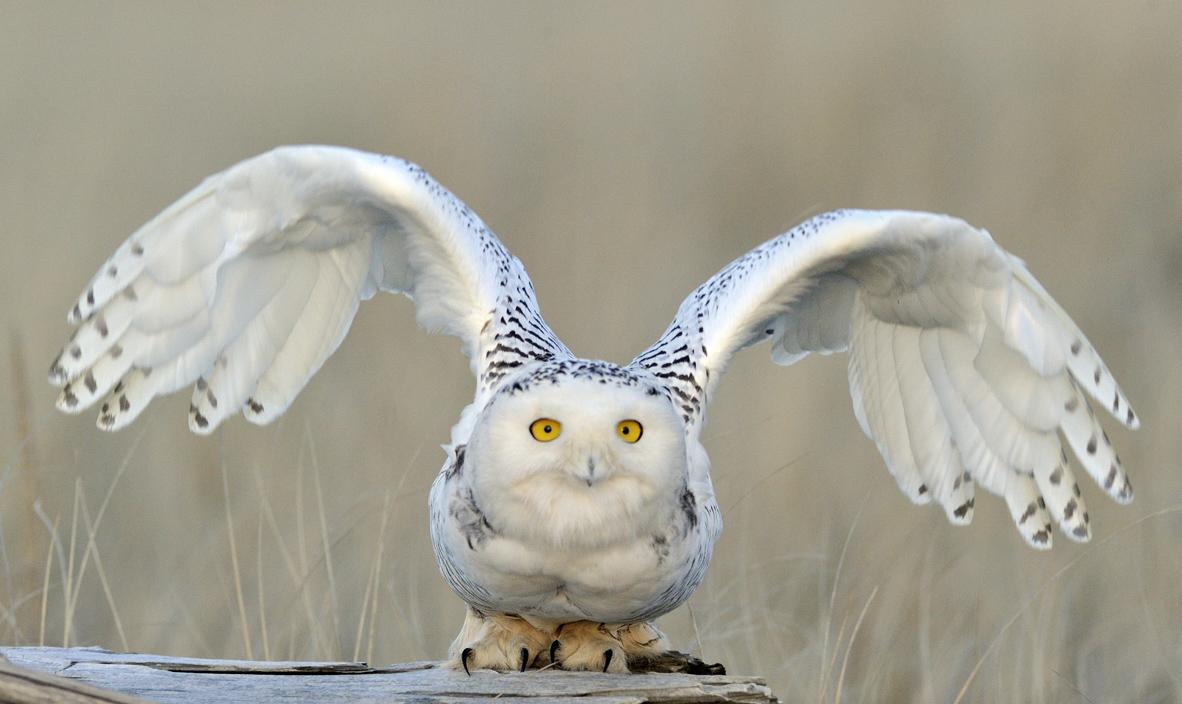 Snowy-Owl7