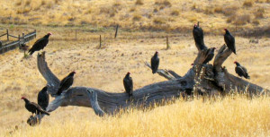 Turkey-Vulture1