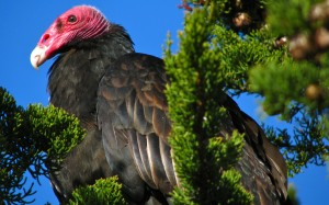 Turkey-Vulture3