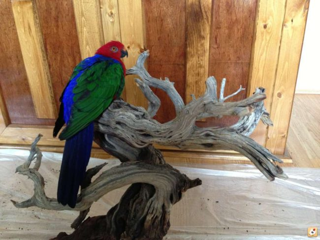 Ambonia-King-Parrot-Relaxing