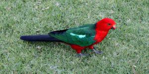 Australian-King-Parrot-Freedom