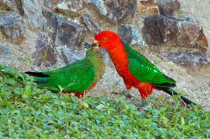 Australian-King-Parrot-Kiss