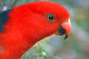 Australian-King-Parrot-Portrait-Photo
