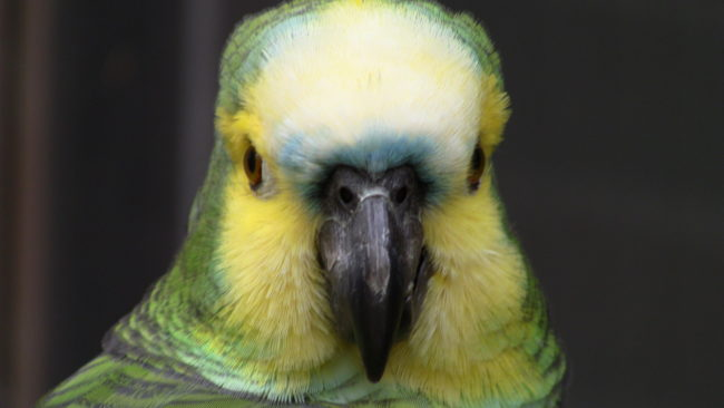 Blue-Fronted-Amazon-Parrot-Angry