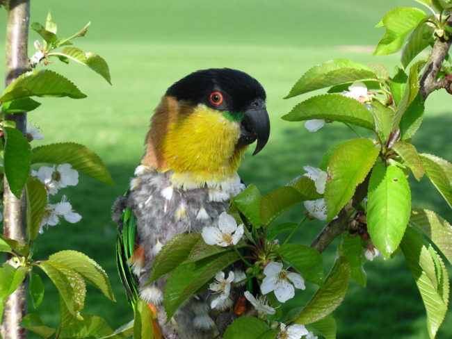 Caique-Black-Head-Happy