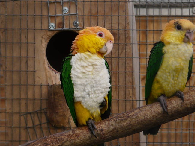 Caique-White-Bellied-My-Girlfriend