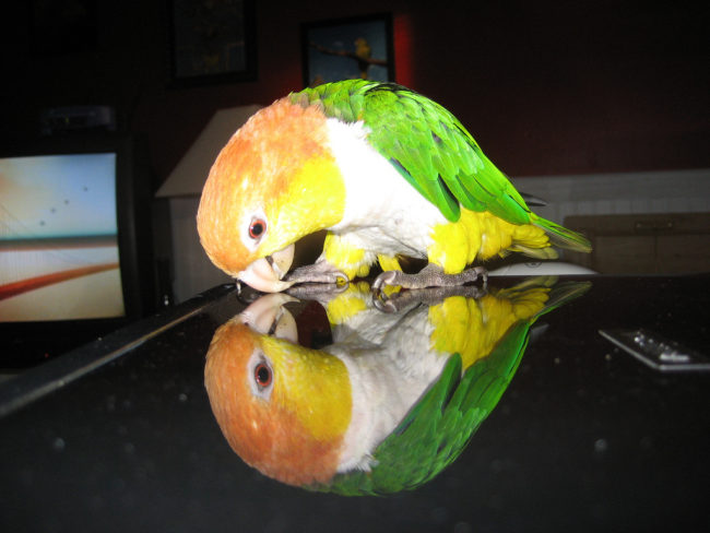 Caique-White-Bellied-Who-Is-That