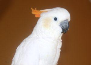 Cockatoo-Citron-Parrot-Portrait