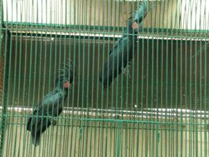 Cockatoo Goliath Palm Parrot