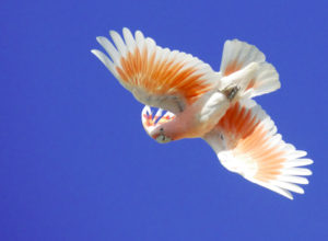 Cockatoo-Leadbeaters-Parrot-In-Flight