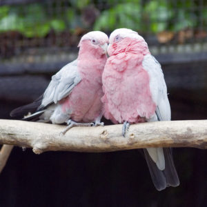 Cockatoo-Rose-Breasted-Parrot-In-Love