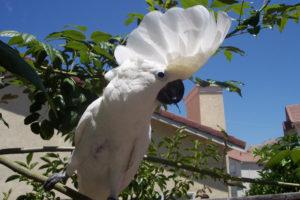 Cockatoo-Umbrella-Crested-Parrot-Outside