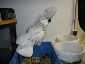 Cockatoo-Umbrella-Crested-Parrot-Trapped