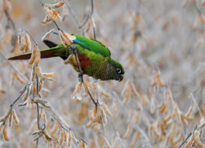 Conure-Marooned-Bellied-Parrot-Looking-For-Food