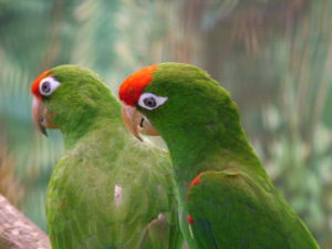 Conure-Red-Fronted-Parrot-Couple