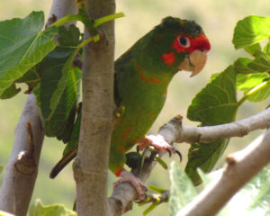 Conure-Red-Fronted-Parrot-Hidden