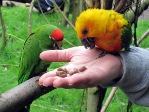 Conure-Red-Fronted-Parrot-Lunch