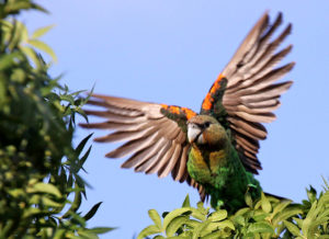 East-African-Brown-Parrot-Takeoff
