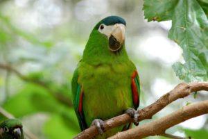 Macaw-Bolivian-Green-Parrot-Hidden