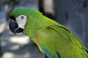 Macaw-Bolivian-Green-Parrot-Portrait