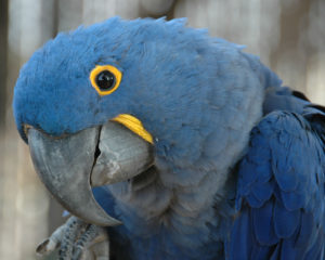 Macaw-Glaucous-Parrot-I-See-You