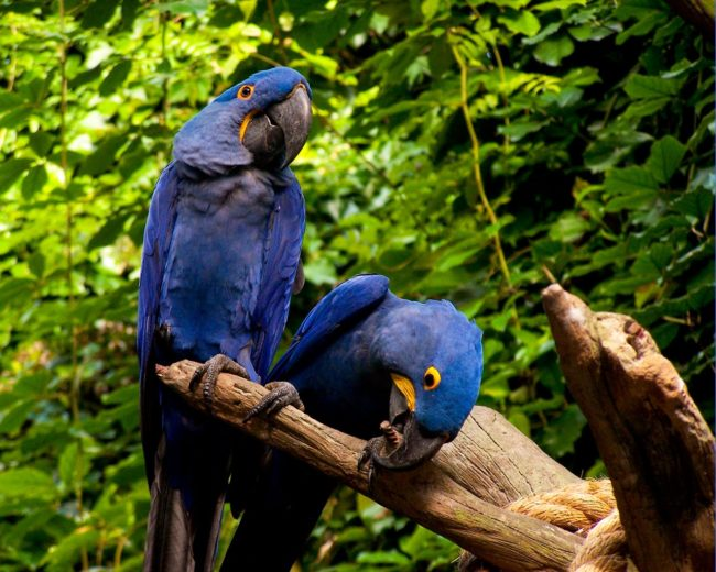 Macaw-Glaucous-Parrot-Share-With-Me