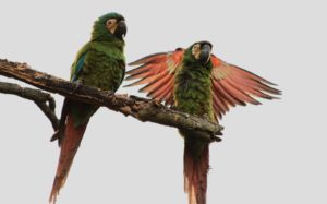 Macaw-Lafresnayes-Parrot-So-Cold-Today