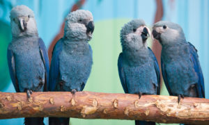 Macaw-Spix-Parrot-Cute-Ans-Sweet