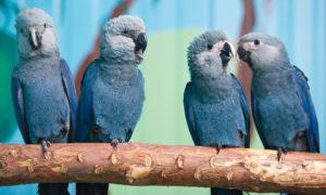Macaw-Spix-Parrot-Cute-Ans-Sweet