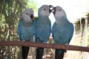 Macaw-Spix-Parrot-Small-Kiss